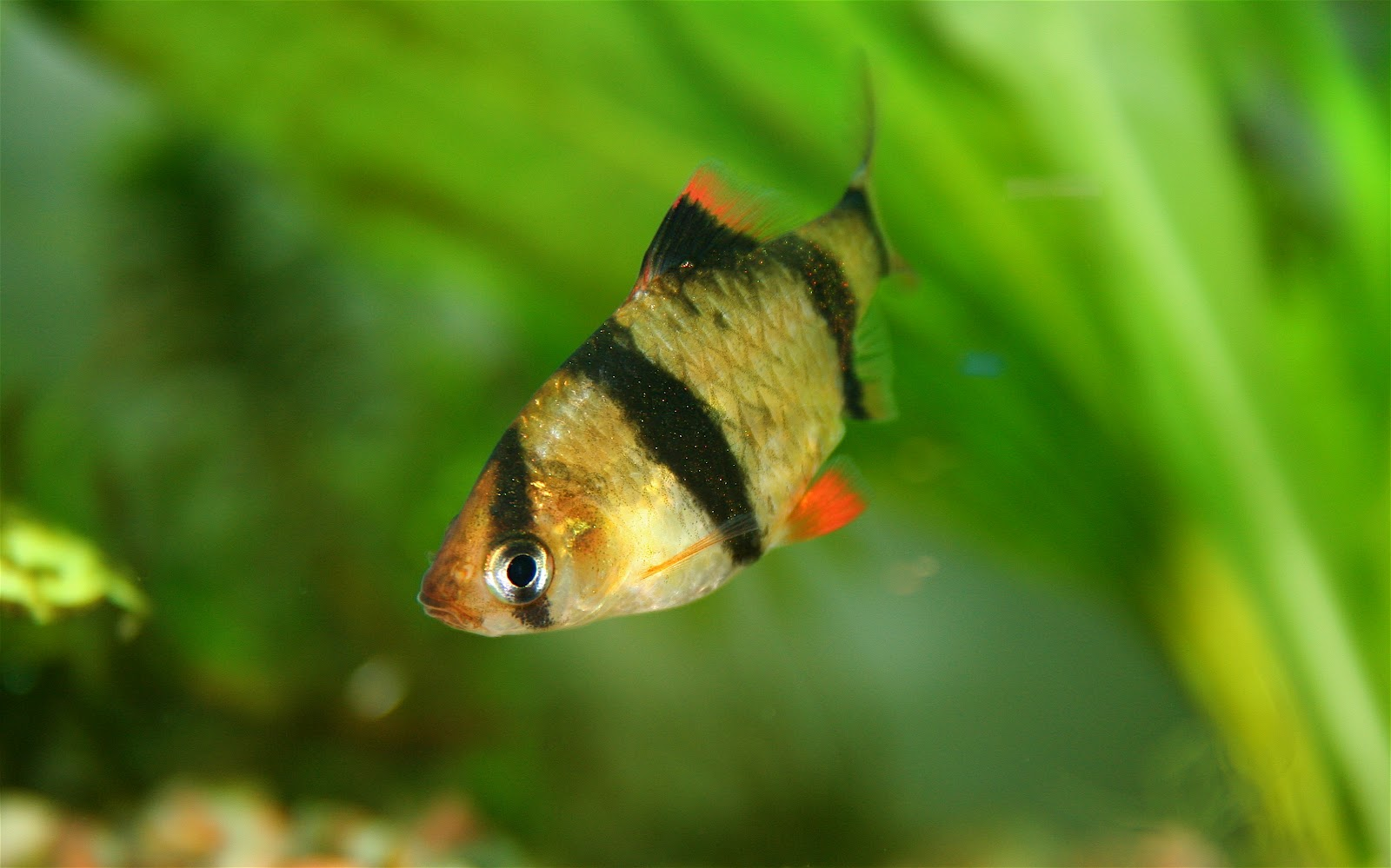 Barbo peixe ornamental for Best tropical fish