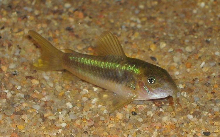 cascudo peixe ornamental p 225 5