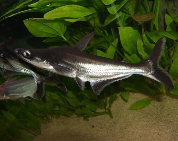 T peixe ornamental for Carpa comida